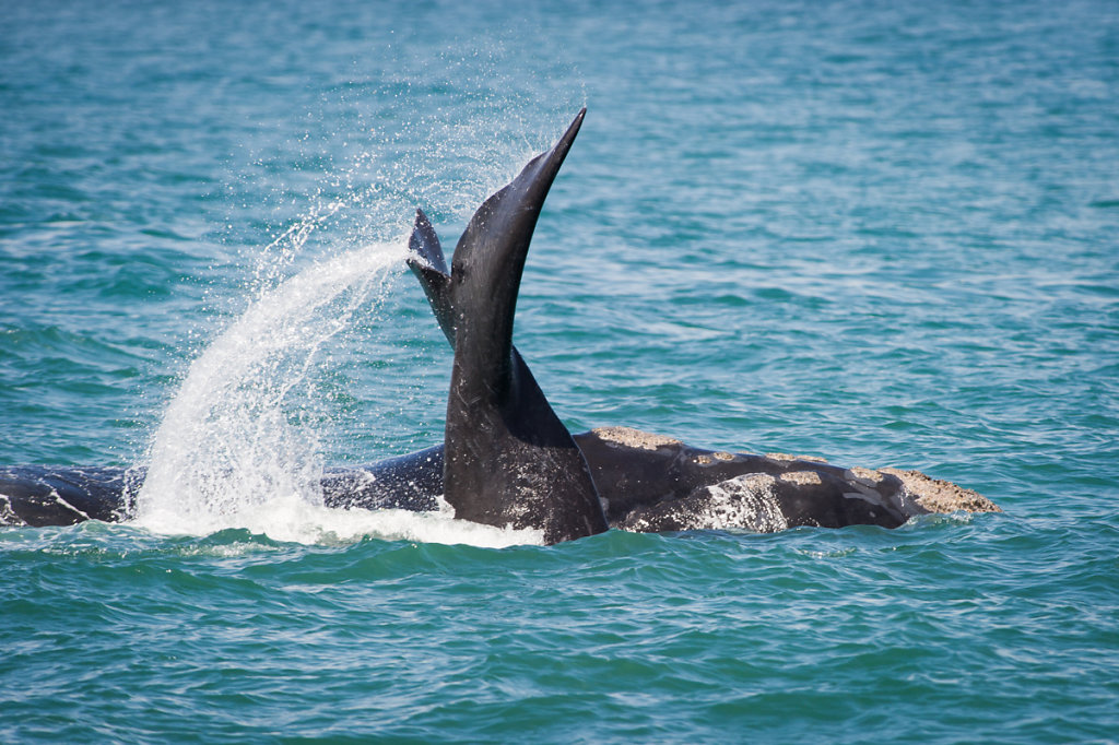 Hermanus, Southern Right Whale (Südkaper)